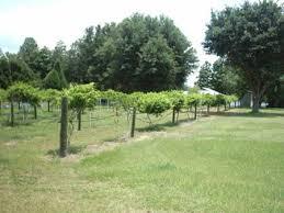 muscadine vines