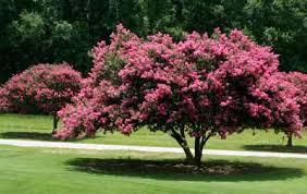 flowering small tree