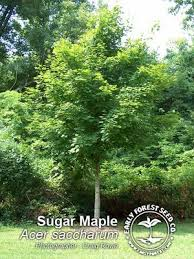 silver maple trees