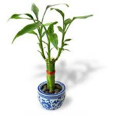 bamboo lucky