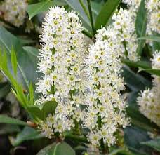 laurel flowers