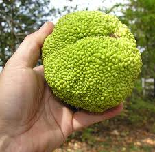 osage orange tree