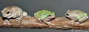 gray treefrogs