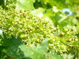 grape flower