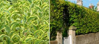 golden privet hedge
