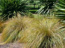 carex plants