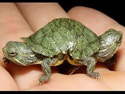 2 head turtle