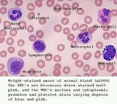 activated lymphocytes