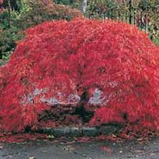 red japanese maples
