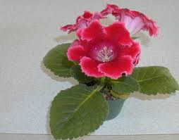 houseplant flowers