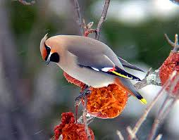 midwest birds