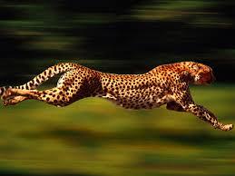 cheetah pichers