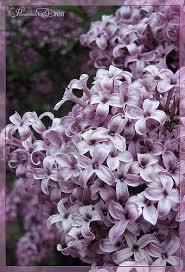 tinkerbell lilac tree