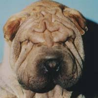 entropion dog
