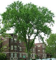 dutch elm trees