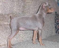 fawn miniature pinscher