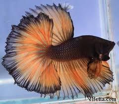 fish bettas