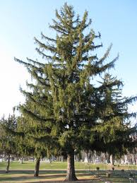 norway spruce picea abies