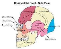 pictures of skull bones