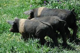 breed pig