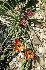 dwarf tulip