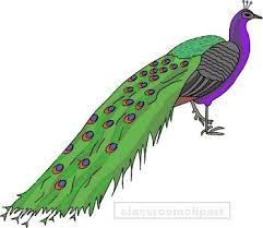 animal peacock