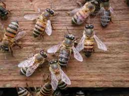 africanized bees
