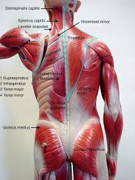 back muscles images