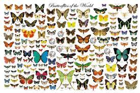 butterflies species