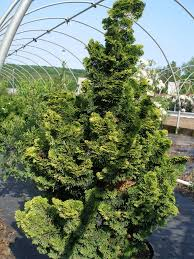 hinoki cypress trees
