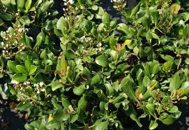 hawthorn plants