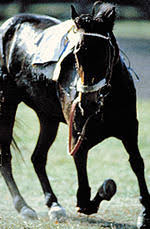 broken leg horse