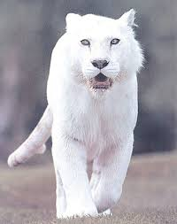 pictures of the white tiger