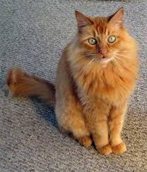 pictures of orange cats