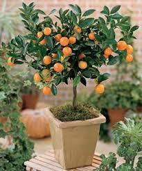 calamondin tree