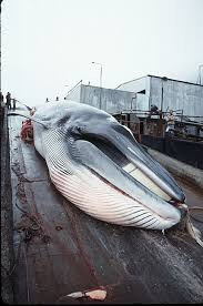 minke whales pictures