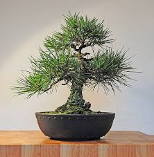 japanese bonsai