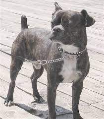 mini boxers dogs