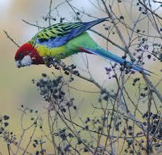 rosella birds