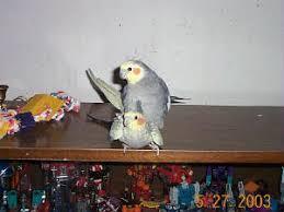 cockatiel breeding