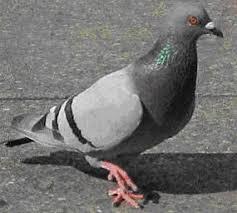 species of pigeon