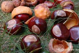 buckeyes nut