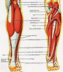 diagram of leg muscles
