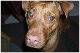 baby red nose pitbulls