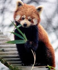 red panda bear pictures