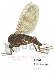 gnats insect