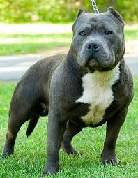 blue rhino pitbull
