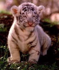 baby white tiger cubs