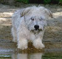 glen of imaal puppy