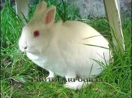 Concours animaux Lapin-blanc-yeux-rouge